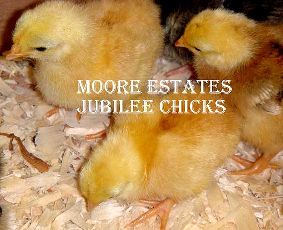 Jubilee Orpington Bantam Chicks Cheepiing away in one of our breeding areas.